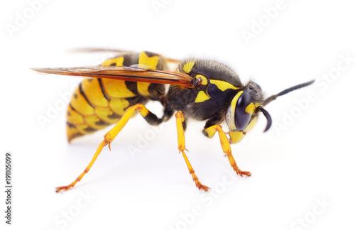 Valokuvatapetti Wasp isolated on white.