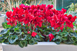 vase of red cyclamen