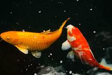 Floating Goldfish In A Garden Pond.