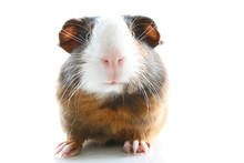Guinea Pig On Studio White Bac...