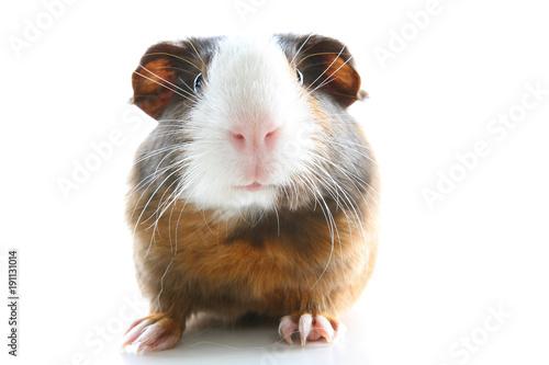 Fotografía  Guinea pig on studio white background