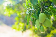 Closeup Of Green Mango Hanging...