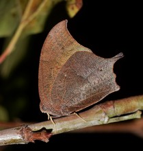 A Goatweed Leafwing Butterfly (Anaea Andria) Roosts On A Branch During The Night. These Butterflies Are Cleverly Disguised As Dead Leaves And Their Camouflage Can Be Hard To Spot By Predators.