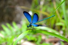 Sapphire Dragonfly
