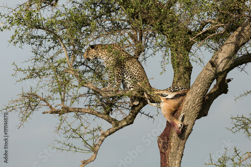 Photo  a leopard in a tree with her kill in the Maasai Mara, Kenya