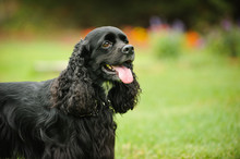 Black American Cocker Spaniel ...
