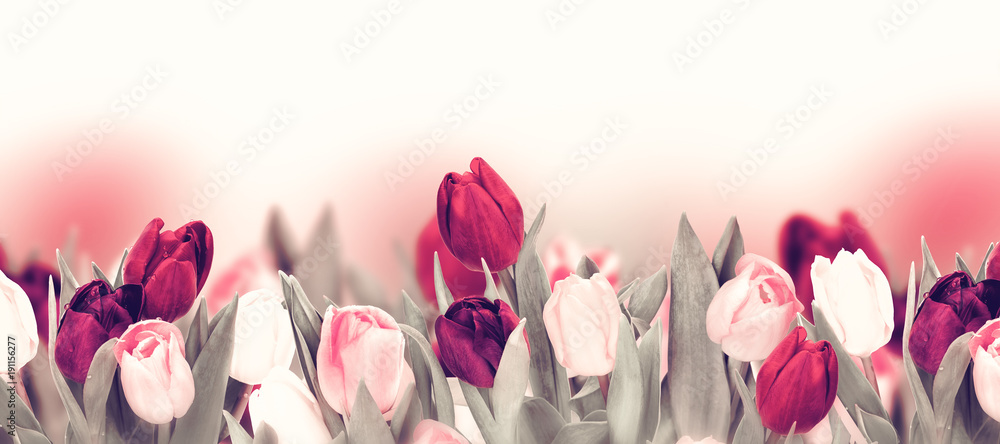 Fototapety, obrazy: Tulip colorful flower panoramic border on white