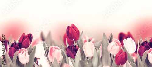 Foto op Plexiglas Tulp Tulip colorful flower panoramic border on white