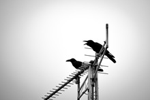 Silhouette Crows Perching On Antenna