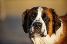 Saint Bernard Dog Outdoor Port...