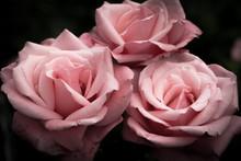 Pink Roses, Vintage Flowers