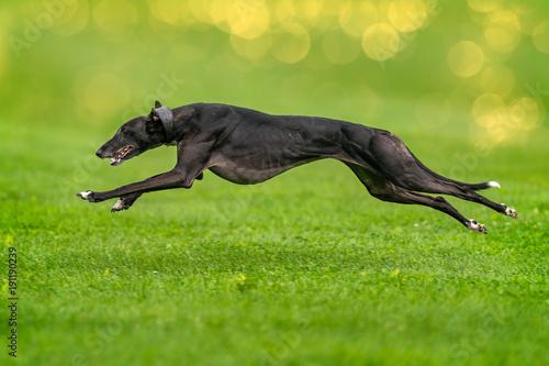 Canvas-taulu Schneller Windhund