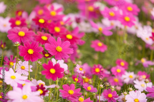 Aluminium Prints Pink cosmos flowers in the garden