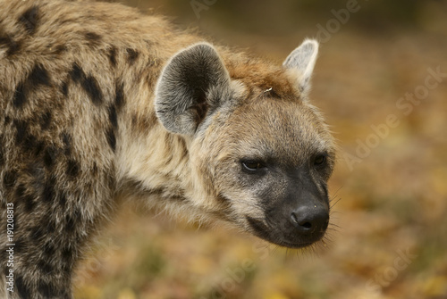 Poster Hyène Portrait of Spotted Hyena - Crocuta crocuta, closeup picture of powerfull African carnivore.
