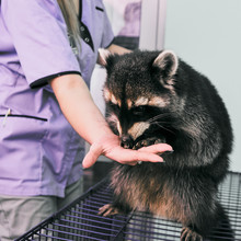 Vet Feeding Raccoon