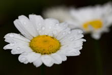 Daisy Close-up With Rain-drops