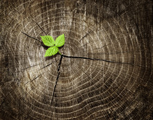 New Young Sprout Growing From Old Wood Tree Stump. Renewal Concept Showing Regeneration And Rebirth. Dark Tree Rings Background.