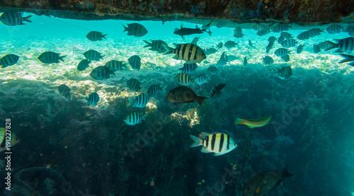 Plakat Mała tropikalna ryba żyje pod pontonem w morzu