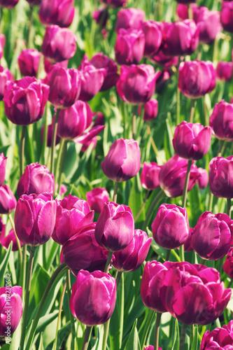Photo sur Toile Rose Beautiful Tulip Field