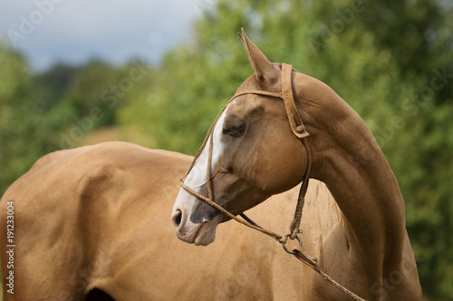 Portrait of a chestnut horse looking back. Nature background.