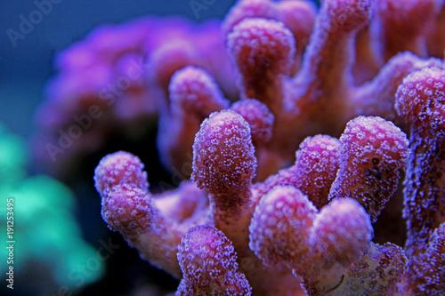 Plakat Różowy stylophora sps coral