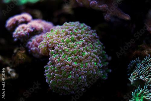 Plakat Euphyllia colorfull lps koral w słonowodnym akwarium