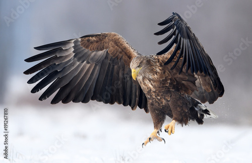 Acrylic Prints Eagle White tailed eagle (Haliaeetus albicilla)