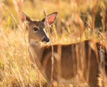 Doe In Golden Meadow At Sunset