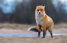 Windy Red Fox Posing On Field ...