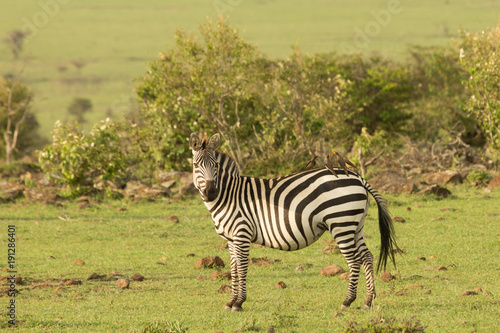 In de dag Zebra zebra on the grasslands of the Maasai Mara, Kenya