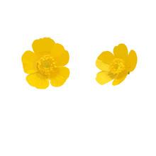 Buttercup. Yellow Flower. Vect...