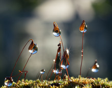 Water Drops On Stems Of Moss In Forest After Rain.