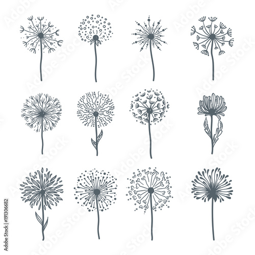 Fototapeta  Tender wild dandelion in all phases of blooming