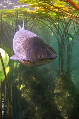 Fotografering Freshwater fish grass carp (Ctenopharyngodon idella) in the clean pound