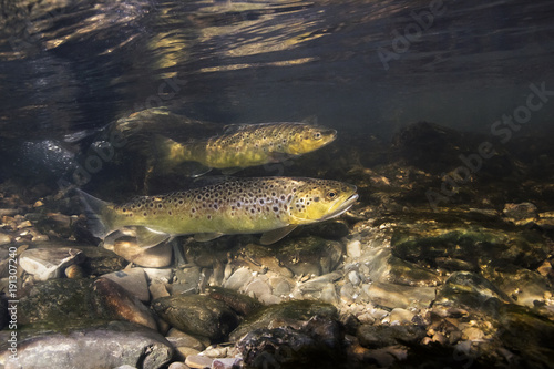 Fotografia Underwater photography of brown trout (Salmo trutta) preparing for spawning in small creek