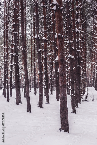 Pine trees in winter forest