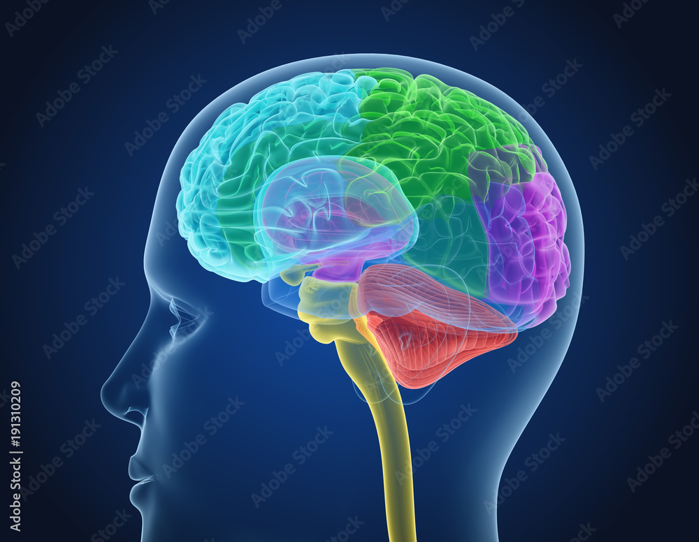 Xray Brain Anatomy With Inner Structure Medically Accurate 3d