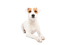 Cute Young Dog Jack Russell Te...
