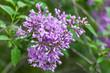 Blooming purple lilac flowers