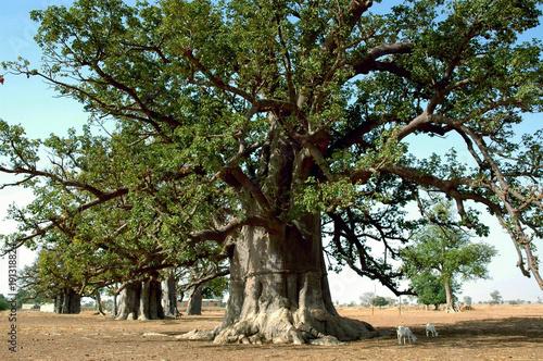 Foto op Canvas Baobab Baobab