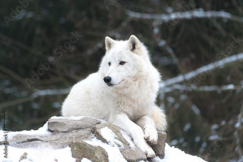La pose en embrasure Loup Loup blanc 2/10
