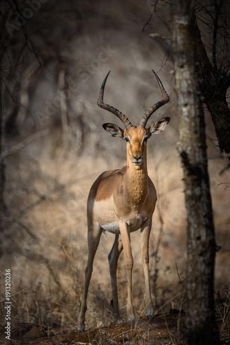 Photo Stands Antelope Impala Antilope Bock mit mächtigen Hörnern schaut frontal in die Kamera