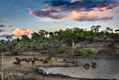 stado-bawolow-afrykanskich-w-wodzie-w-opalenizny