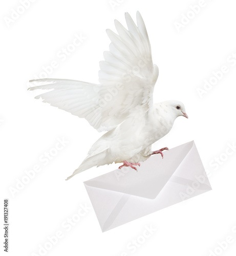 isolated dove carrying large envelope