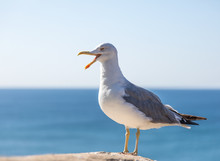 Seagull Standing Against Blue ...