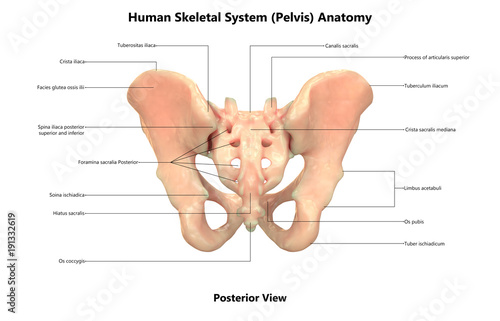 Human Skeleton System Pelvis Anatomy Posterior View Buy This