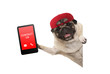 frolic pug puppy dog with red cap, holding up tablet phone with text contact us, hanging sideways from white banne, isolated