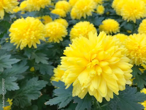 Yellow Cushion Champagne in the garden