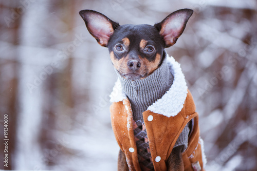 Photo A dog in a sweater, and a sheepskin coat, in a winter forest, looks into the camera