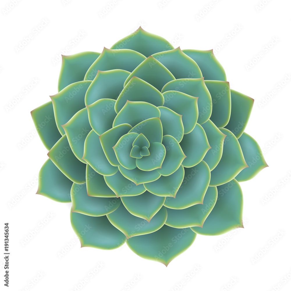 Fototapeta Green succulent plant from top view. Realistic vector illustration, isolated on white for natural design